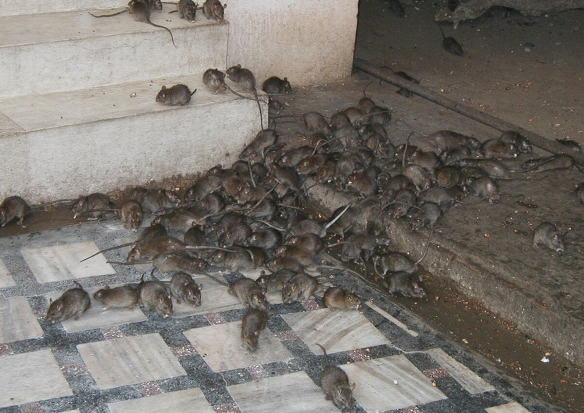 Rat Uncyclopedia The Content Free Encyclopedia Find over 100+ of the best free cute rat images. rat uncyclopedia the content free