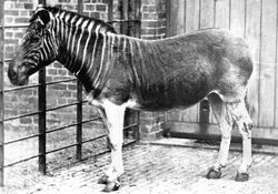 'The Purloined Quagga', affectionately known as 'Stumpy'.