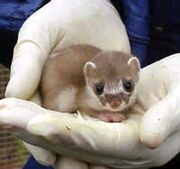 This stoat is about to be molested.